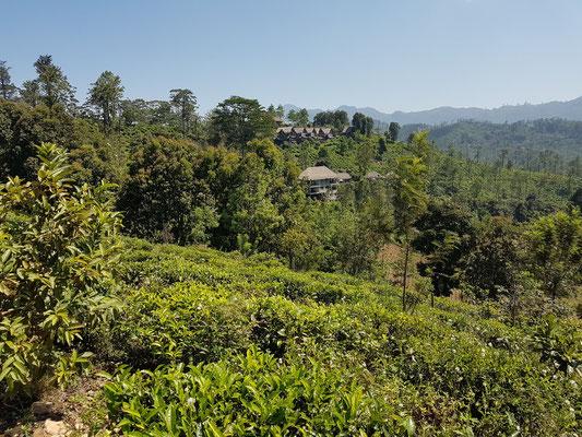 Guesthouses in den Teeplantagen