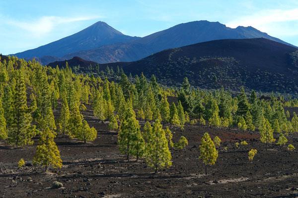 Zufahrt von Chio zu den Cañadas, Zone mit aufgeforsteten Kiefern