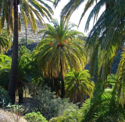Palmenhain südlich von Santa Lucia