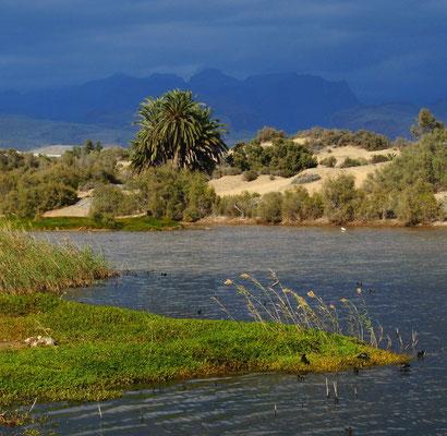 Charca de Maspalomas, ein Feuchtbiotop am Rande der Sanddünen