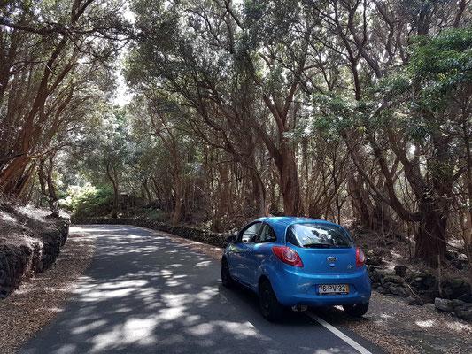 In den Lorbeerwäldern nach Ponta do Queimado