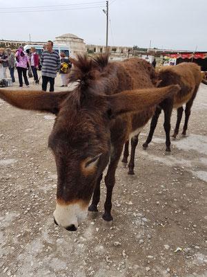 Wilde Esel auf der Halbinsel Karpas