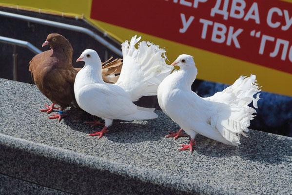"""""""Friedenstauben"""" werden Touristen und Einheimischen als Fotoobjekte angeboten."""