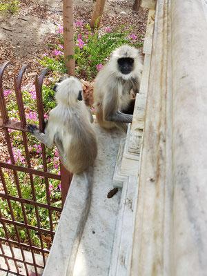 Affen im Bereich des Surya-Tempels