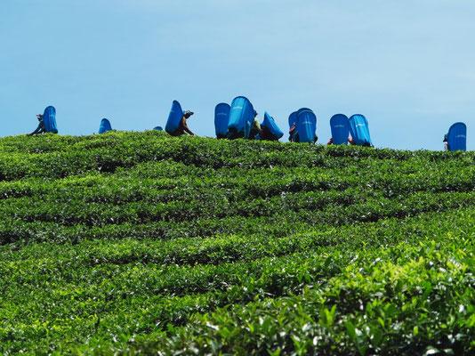 Teefelder in den Bergen, Ernte