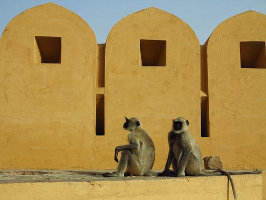 Empfang durch Affen im Amber-Fort