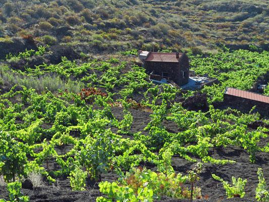 Weinreben auf fruchtbarem Vulkanboden
