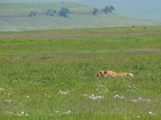 10:41 Die Löwin pirscht sich auf ein etwa 50 m entferntes Zebra heran....