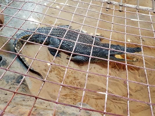 Krokodil als Haustier im Nubischen Dorf Gharb Seheil