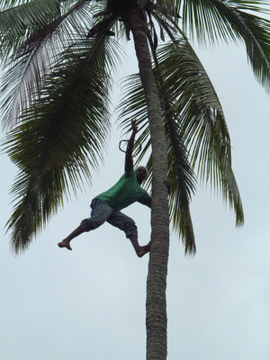 Ein Kletterkünstler erntet Kokosnüsse.