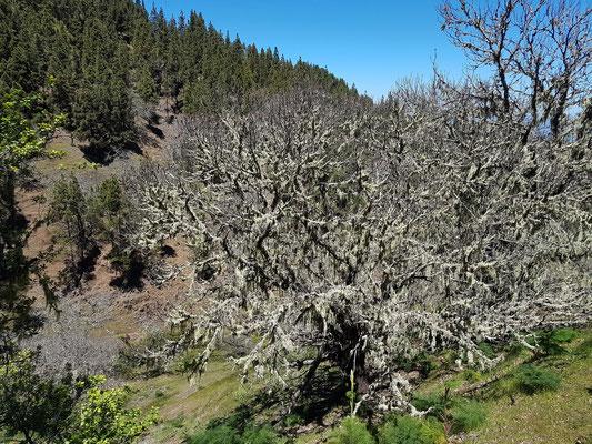 Bäume mit Bartflechten in der feuchten Bergzone von Gran Canaria oberhalb von Valleseco