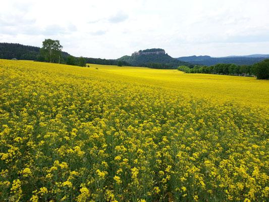 Rapsfelder nördlich des Pfaffensteins, Blick zur Festung Königstein