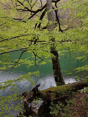 Das frische Grün im Frühling im Nationalpark Biogradska Gora