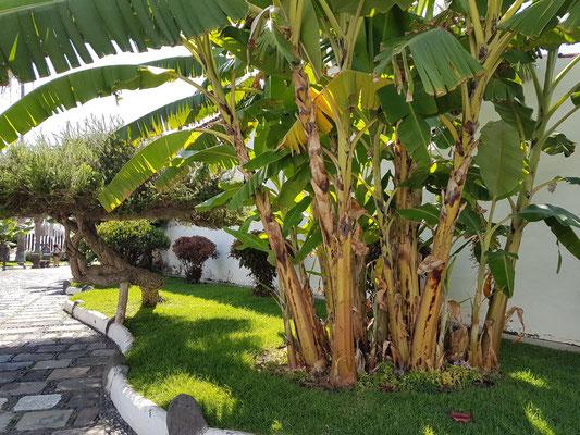 Bananenpflanzen an der Ermita de San Telmo