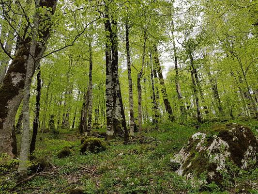 Biogradska Gora, einer der ganz wenigen urzeitlichen Wälder Europas