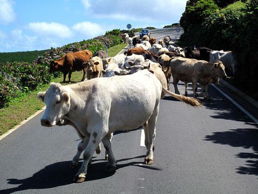 Viehtrieb über die Straße oberhalb von Ponta Delgada (Foto: Bernd.Th)