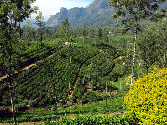 Nuwara-Eliya Estate Tea Factory