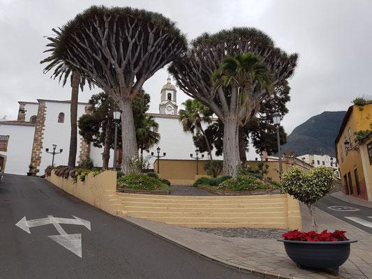 Realejo Bajo, zwei Drachenbäume vor der Kirche Parroquia Matriz de la Concepción