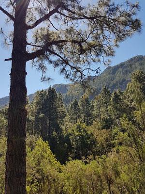 Aufstieg auf dem Camino de Candelaria durch Kiefernwald