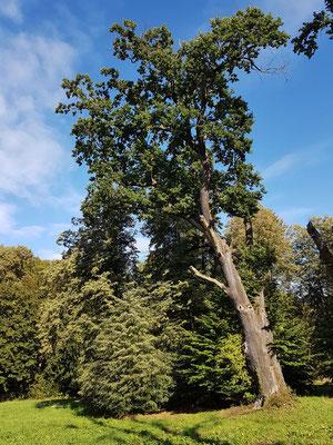 Alter Baumbestand auf polnischer Seite des Parks