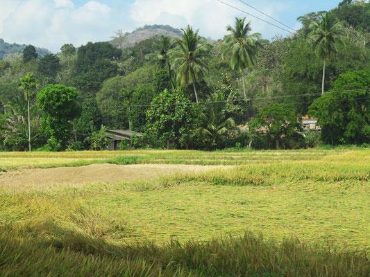Reisfelder und Regenwald