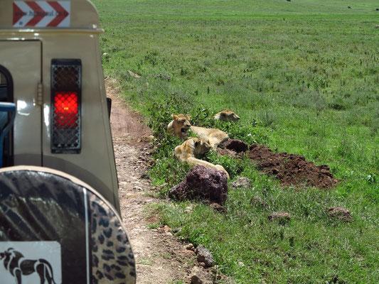Beobachtungen von Löwinnen dicht am Rand der Piste
