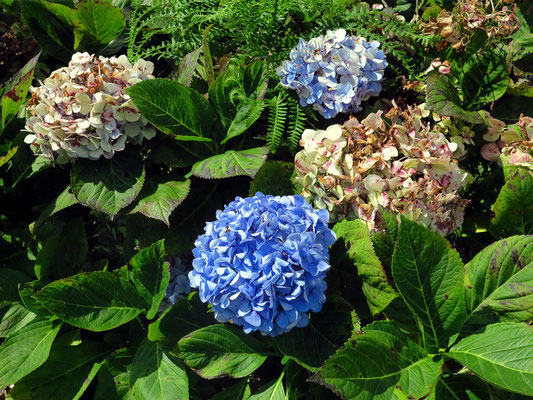 Kilometerlange Hecken aus Hortensien säumen Weiden, Straßen und Häuserreihen. Blau, weiß, rosa und lila leuchten die Kelchblätter, und das bis September.