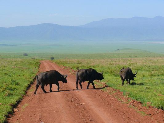 Kaffernbüffel queren die Piste im Ngorongoro-Krater