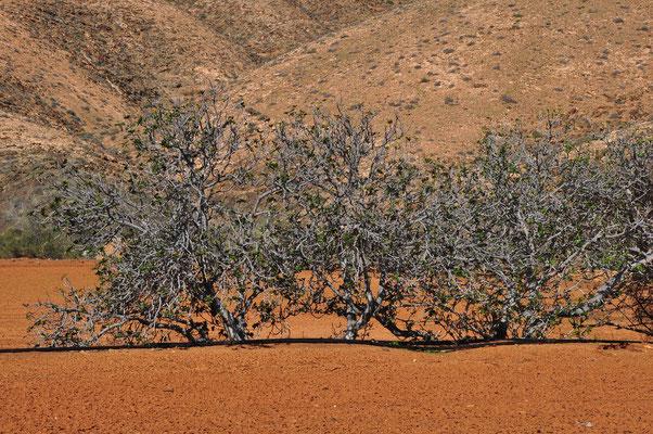 Feigenbäume bei Mezquez, westlich des Barranco de las Peñitas