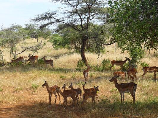 Impalas (afrikanische Antilopen)