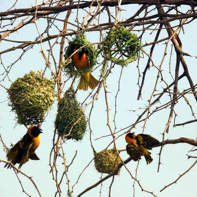 Webervögel und ihre Nester
