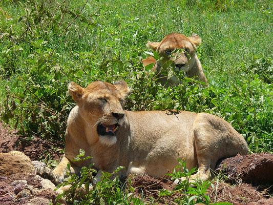 Die Löwinnen dösen in der Mittagshitze.