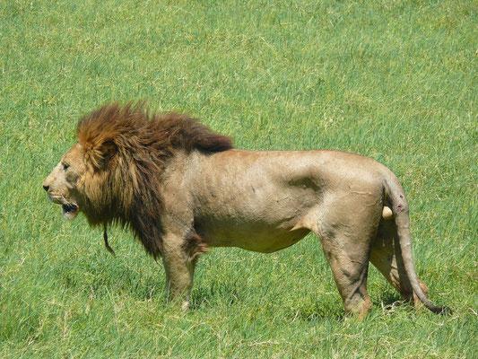 ...bis es ihm dann doch zuviel wird und er seiner Löwin folgt.