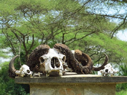 Schädel eines Kaffernbüffels am Eingang zum Serengeti-Nationalpark