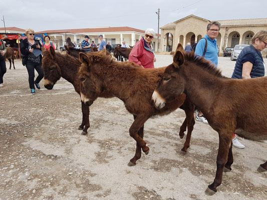 Wilde Esel auf der Halbinsel Karpas am St.-Andreas-Kloster
