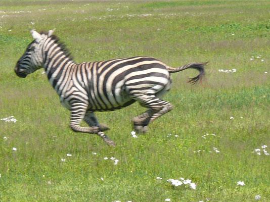 10:51 .... Mit einem Sprung flieht das Zebra vor der zum Sprung ansetzenden Löwin ...