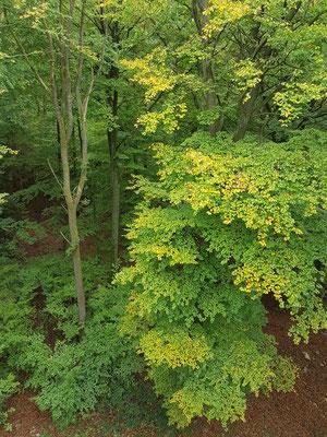 Blick vom Baumwipfelpfad auf die Buchenwälder