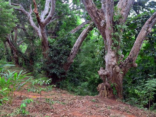 Alte Mangobäume
