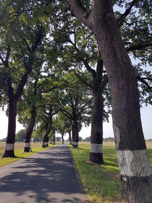 Baumalleen sind typisch für die Straßen in Ostdeutschland, hier Straße von Groß Neuendorf nach Altlewin