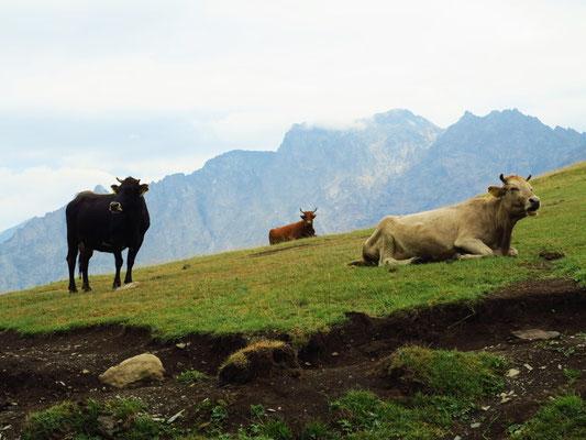 Rinder auf der Alm im Hohen Kaukasus