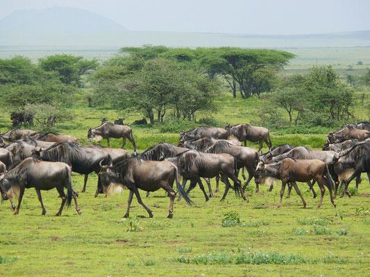 Gnus auf ihrer Wanderung in der Serengeti