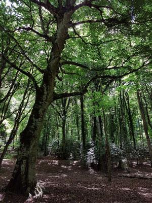 Foresta Umbra (italienisch 'dunkler Wald, schattiger Wald').