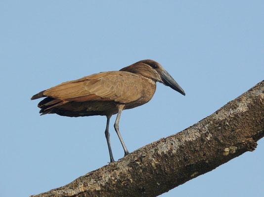 Hammerkopf oder Schattenvogel