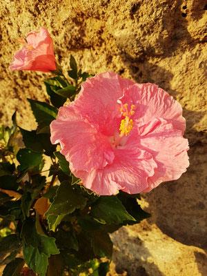 Hibiskus an der Promenade Calle Acantilado