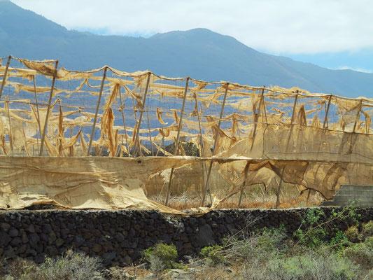 Vom Wind zerfetzter Sonnen- und Windschutz einer Plantage im Golf von Frontera