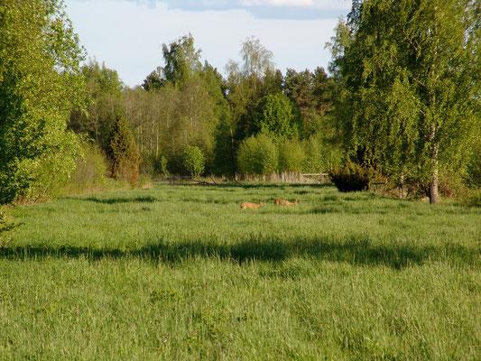 Unweit des Dorfes sehen wir Rehe