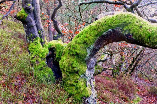 Knorrige Baumgestalten mit Moosen und Flechten, Foto: Wolfgang Lübcke