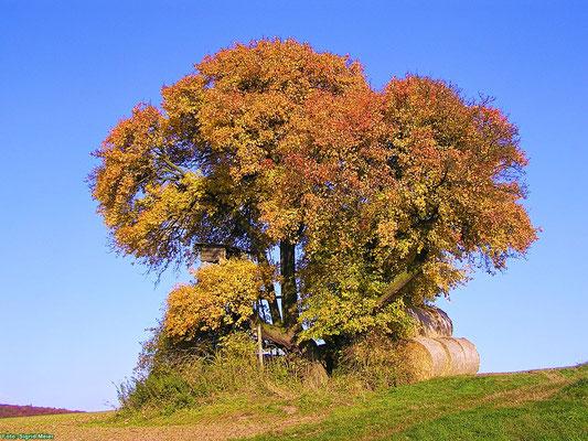 Wildbirne bei Böhne im Herbst (Foto: Sigrid Meier)