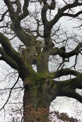 Blick in die Baumkrone mit erkennbaren Bruchstellen (Foto: Wolfgang Lübcke)