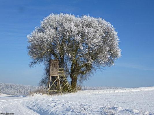 Wildbirne bei Böhne im Winter (Foto: Sigrid Meier)